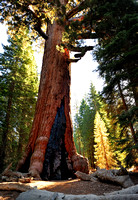 Grizzly Giant Sequoia